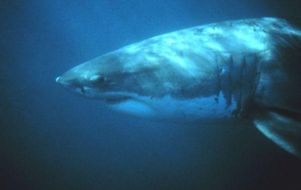 Wie Alt Werden Haie