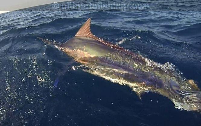 schwimmen mit Marlin, Marlin swimming