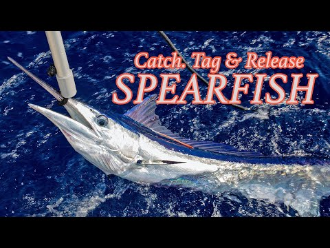 7 Spearfish in 7 days | Tagging Mediterranean Spearfish in Mallorca!